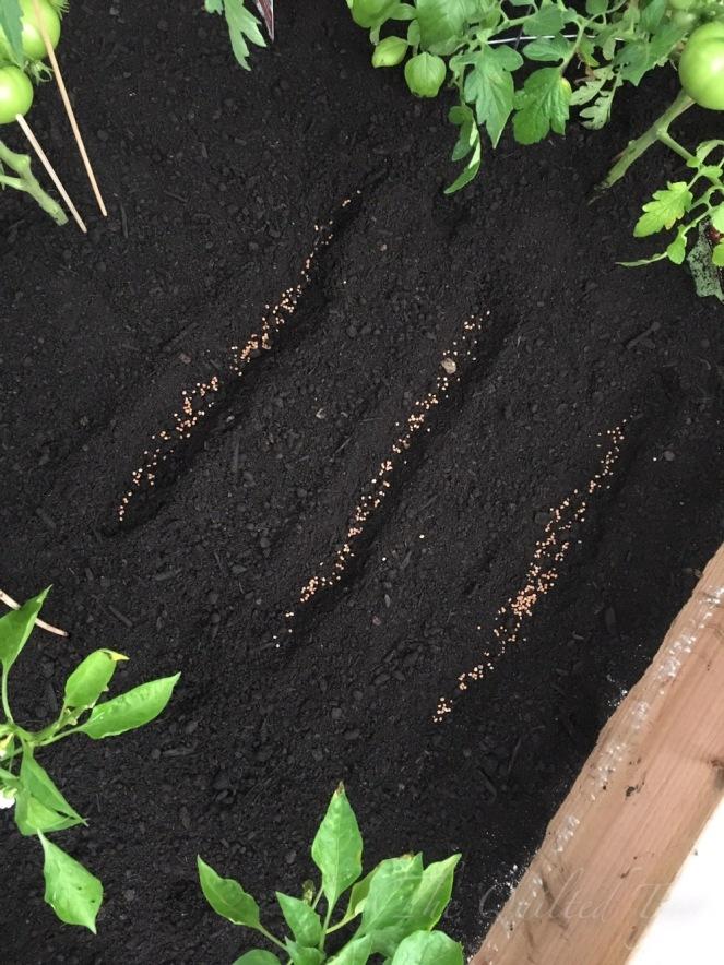 Radish seeds in my garden