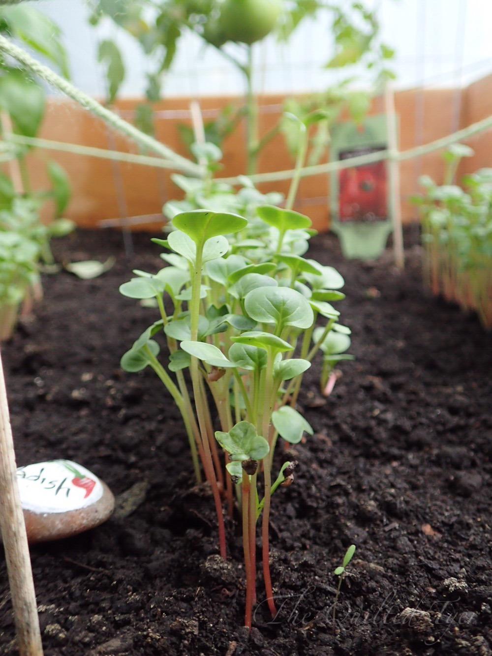Grow little radishes grow!